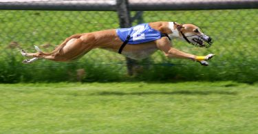 greyhound_racing_2_amk